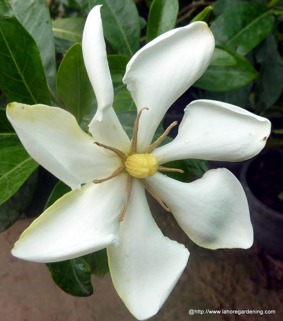 Gardenia florida heaven scent