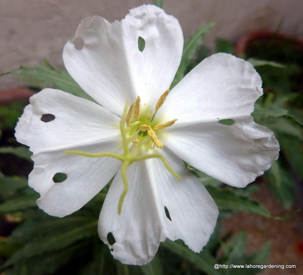 Evening primrose Oenothera pallida