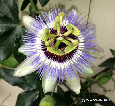 Passiflora clear sky