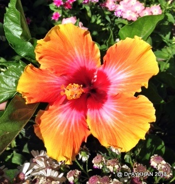 hibiscus cosmic dancer