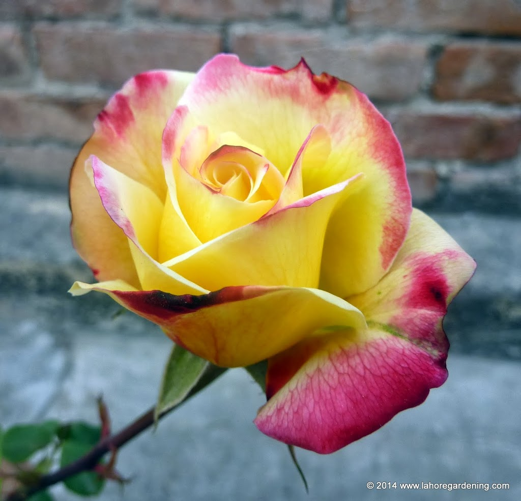 Double delight Tips on Growing Roses