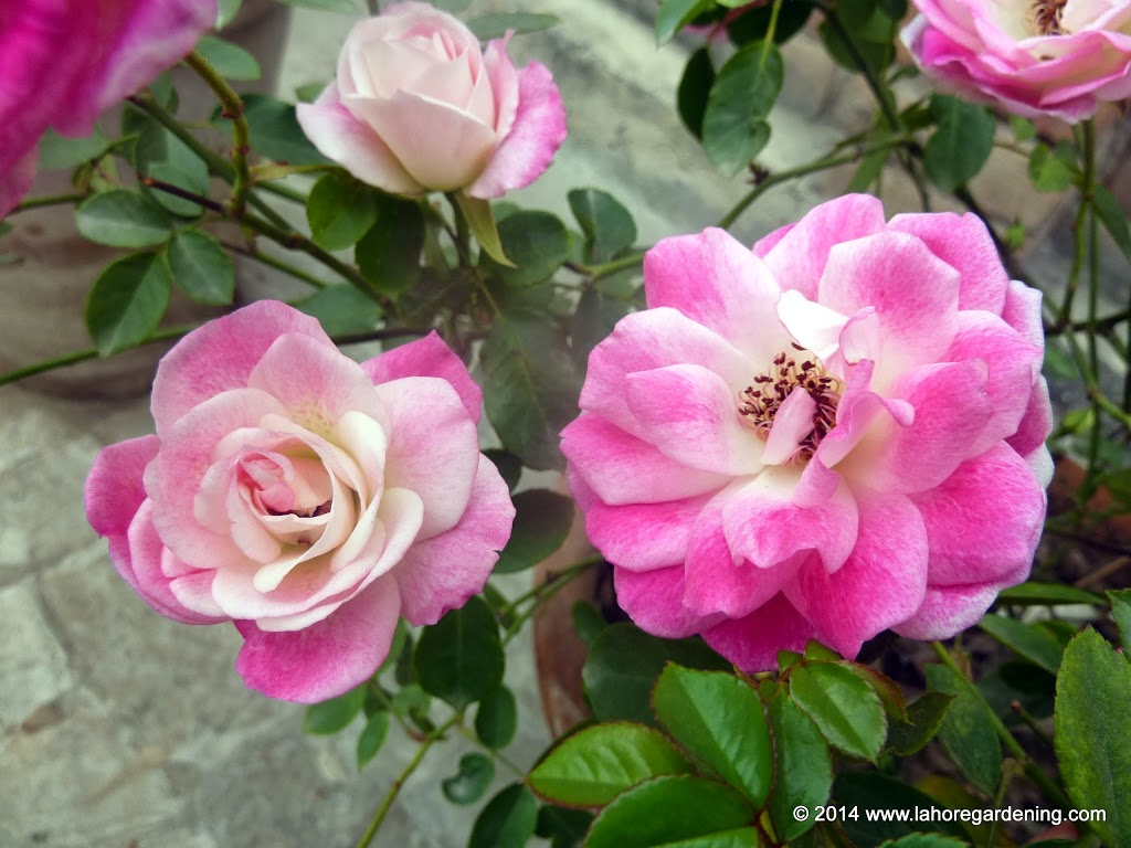 Pink iceberg Tips on Growing Roses