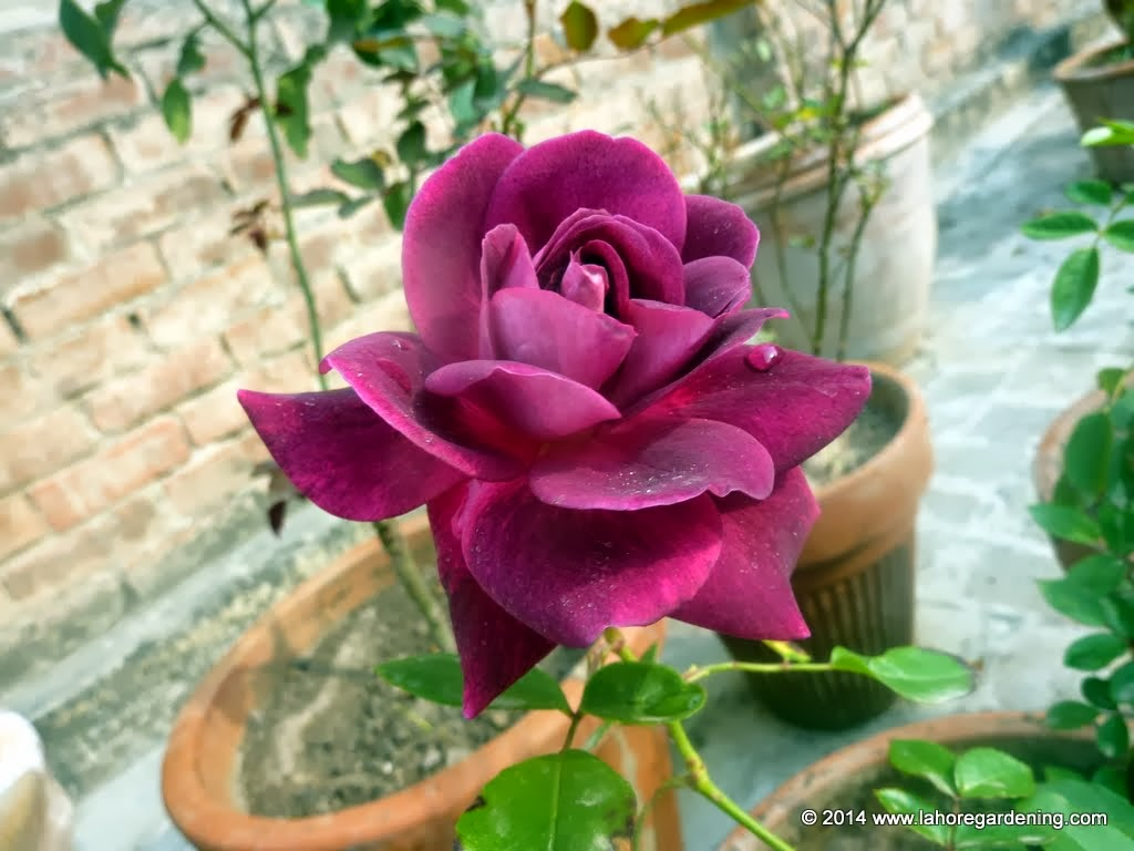 burgundy iceberg rose Spring Flowers on my rooftop garden in Lahore