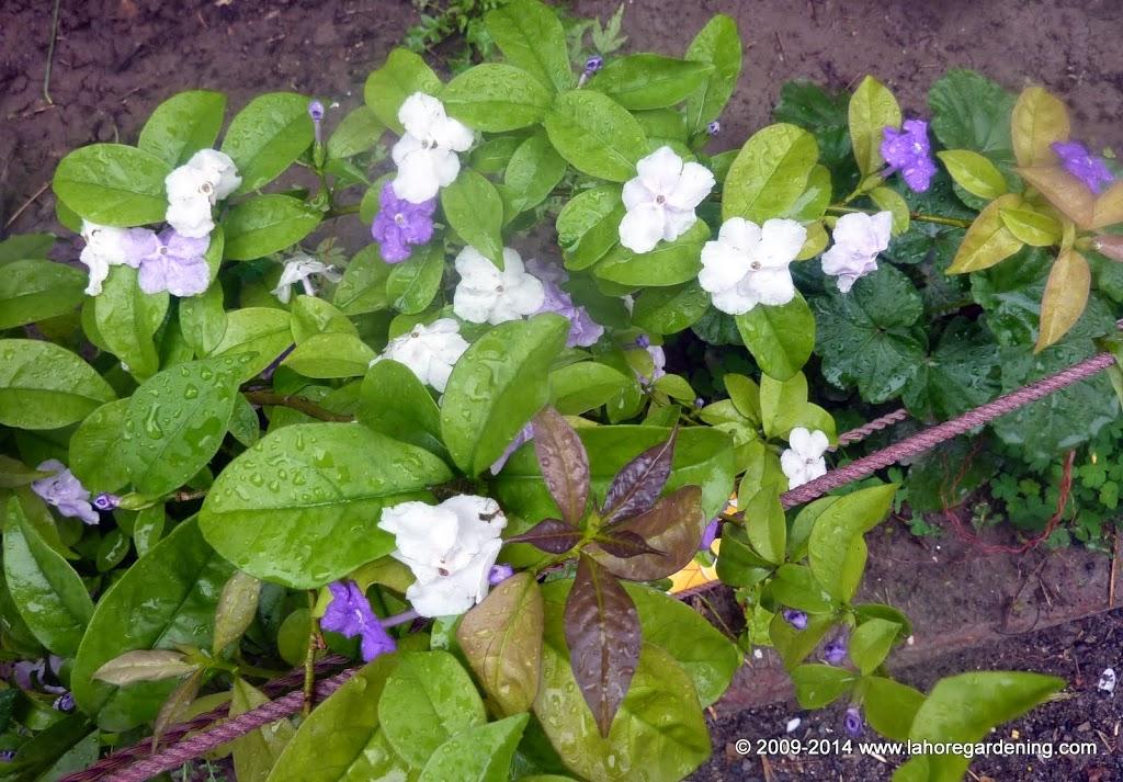 Brunfelsia francesea