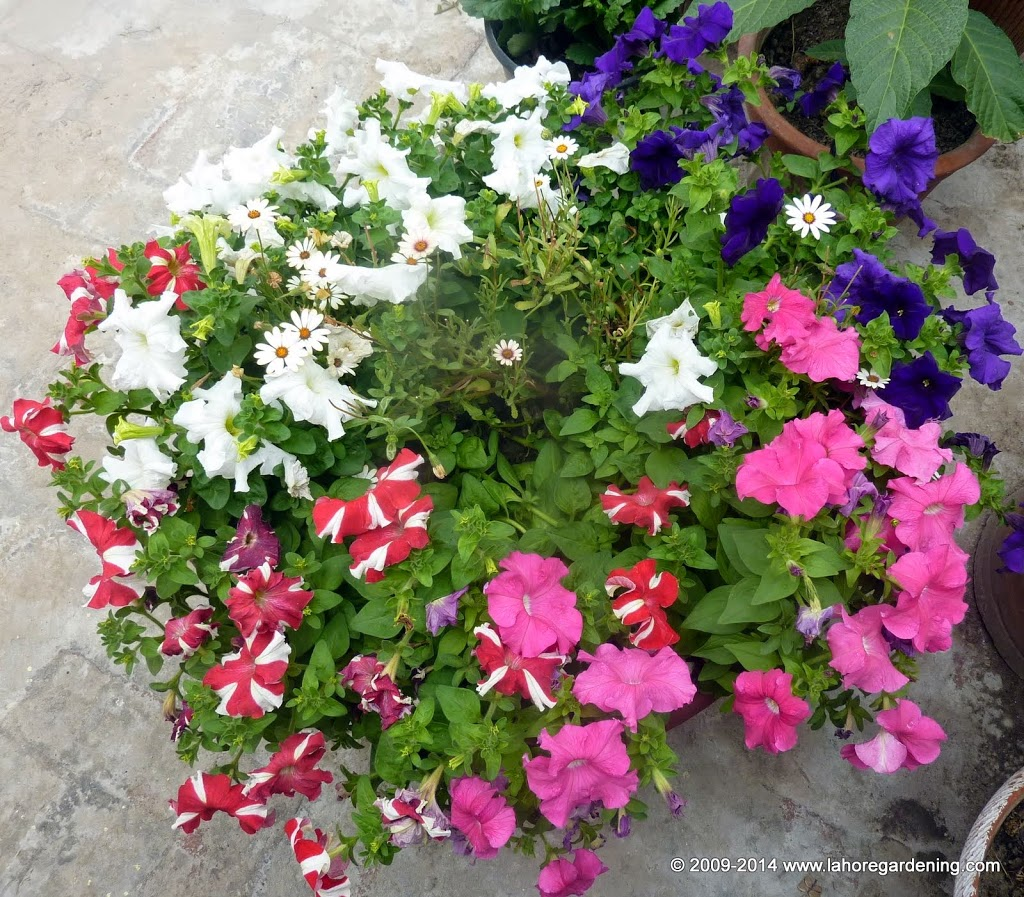 petunia in container Spring Flowers on my rooftop garden in Lahore