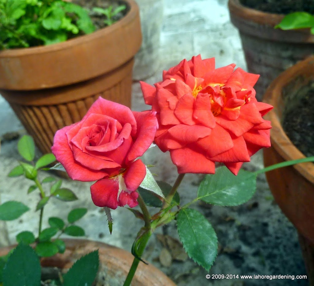 winsome rose Spring Flowers on my rooftop garden in Lahore
