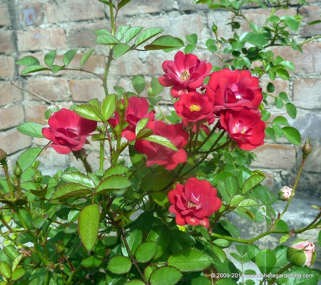 own root miniature rose