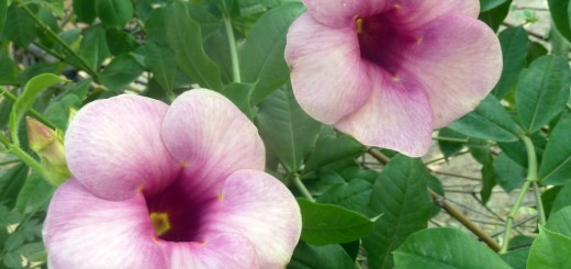 Chocolate Allamanda