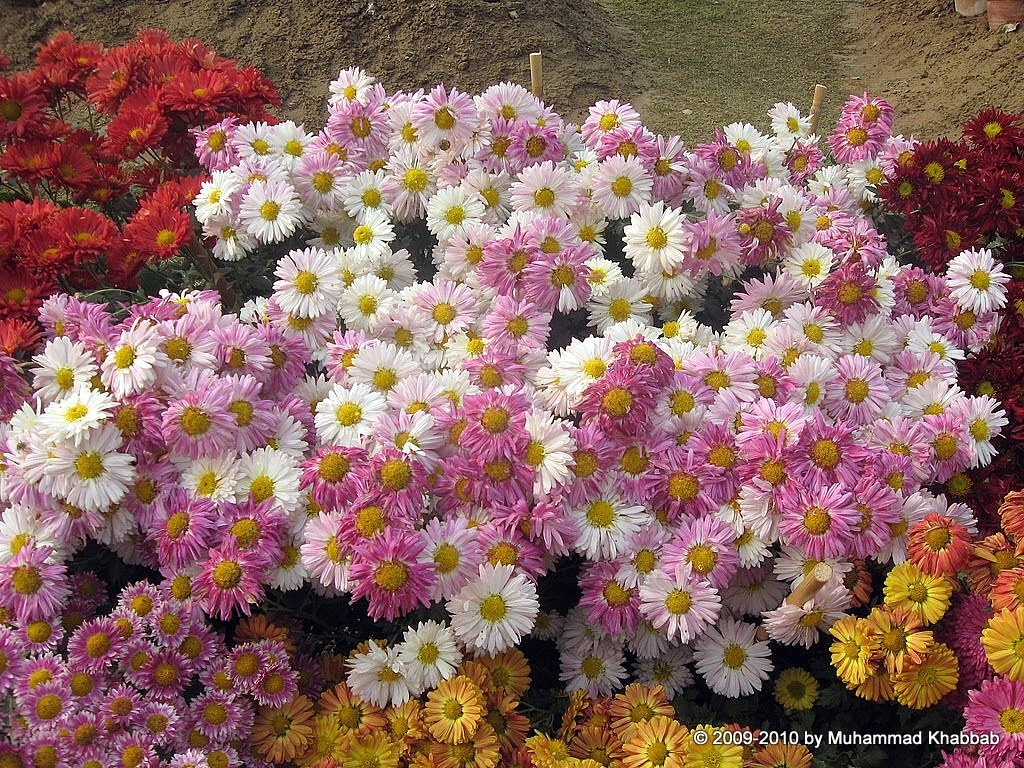 Annual Chrysanthemum Show 2014 Lahore