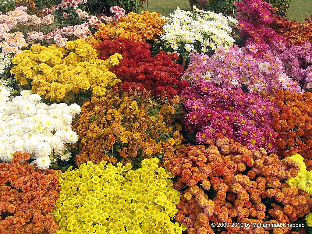 Chrysanthemum flower show lahore 2014