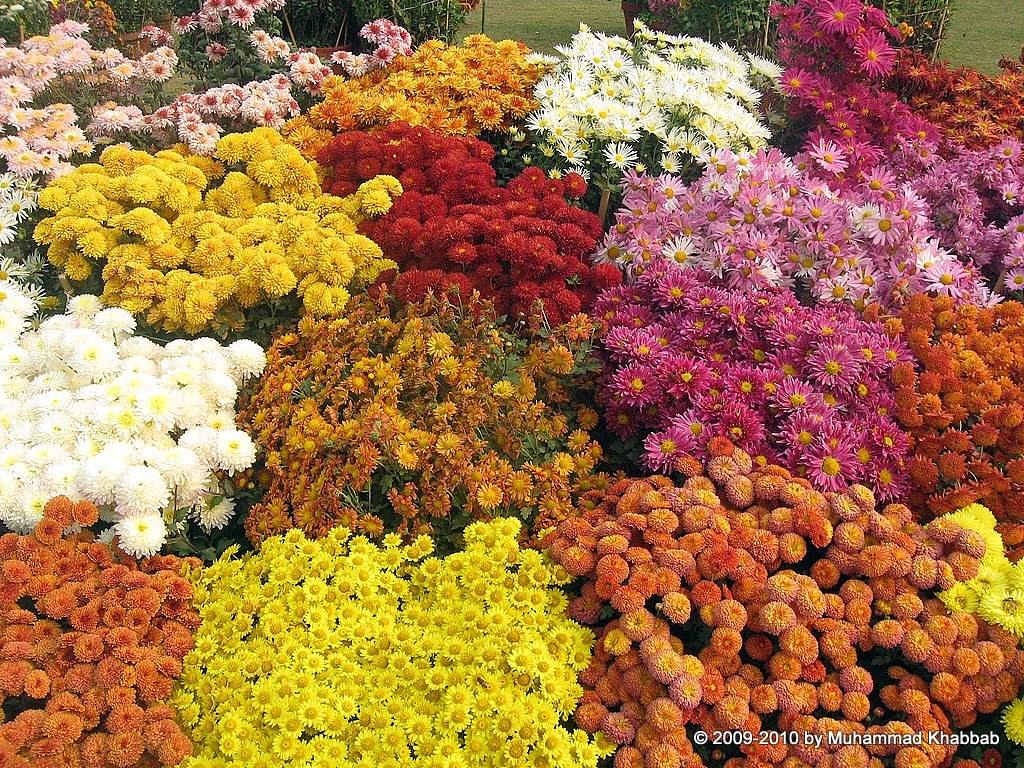Annual chrysanthemum show 2014 lahore chrysanthemum flower show lahore 2014 izmirmasajfo