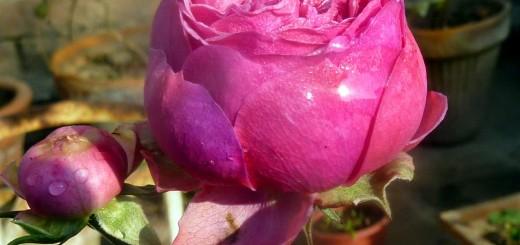 pomponella fairy tale rose