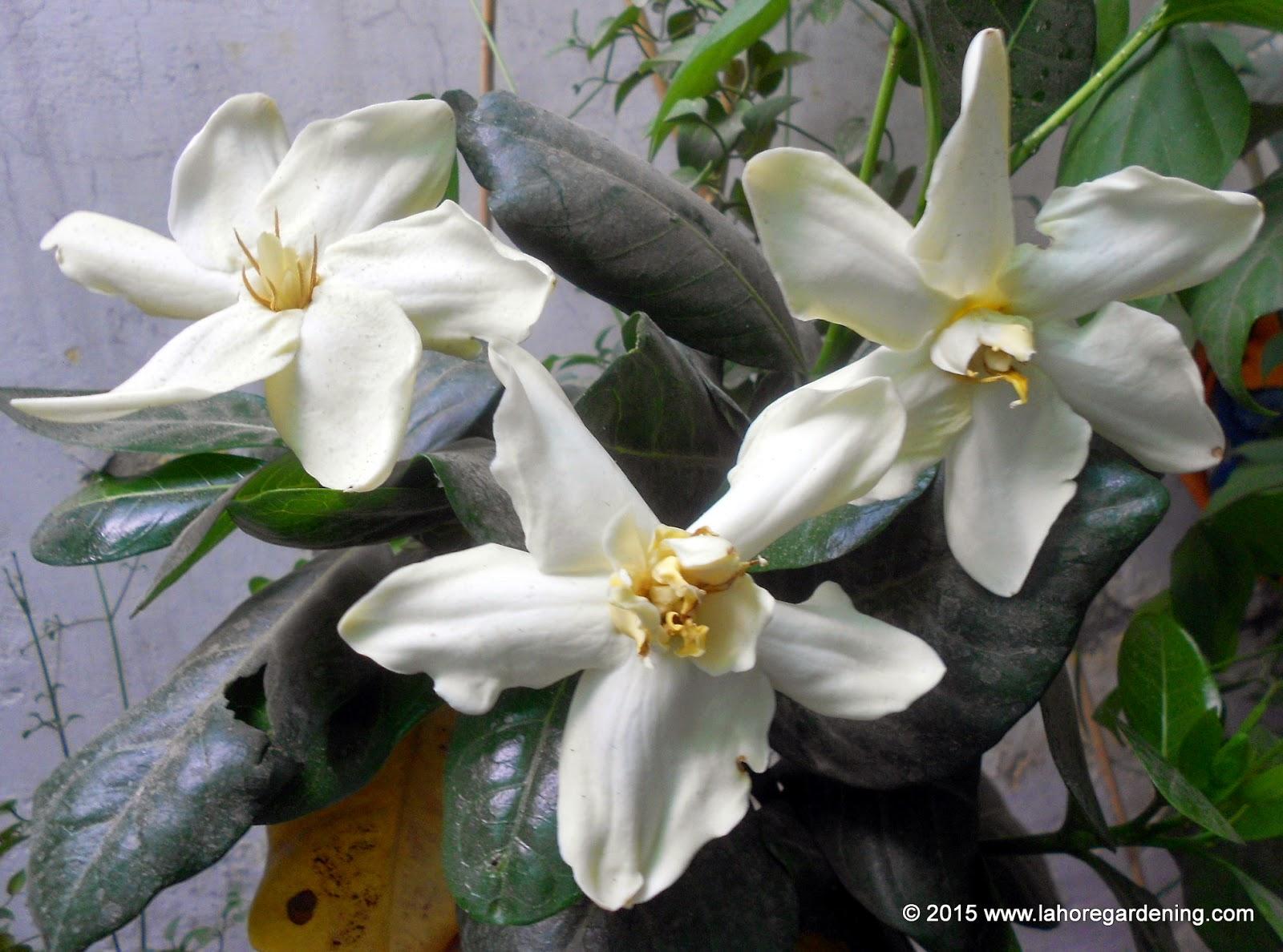gardenia tietensis