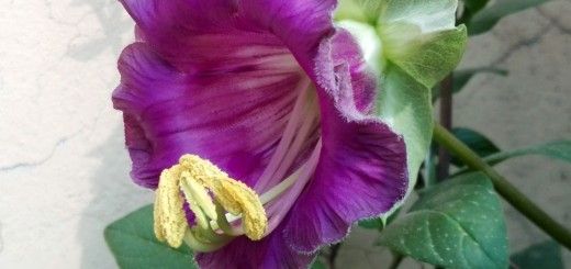 cobaea scandens cup and saucer vine