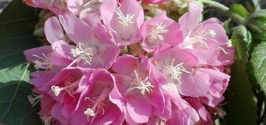 pink dombeya