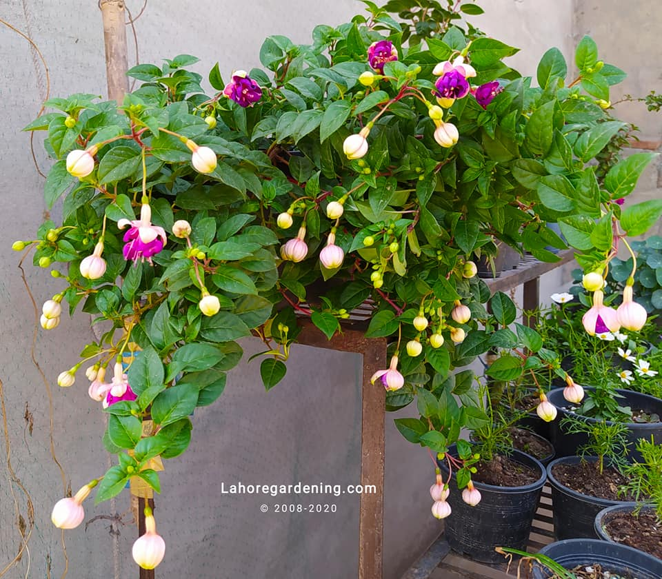 How to grow fuchsia in hot climate